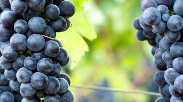 Ripe Grape Clusters on the Vine. Close-up Macro Background with Copy Space.