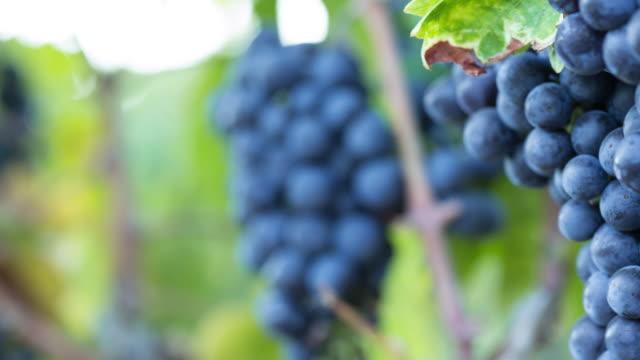 Ripe Grape Clusters on the Vine. Close-up Macro. video