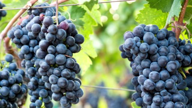 Ripe Grape Clusters on the Vine. Close-up Macro.