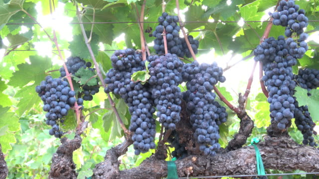 Ripe Grape Clusters on the Vine - Close-up Pan. video