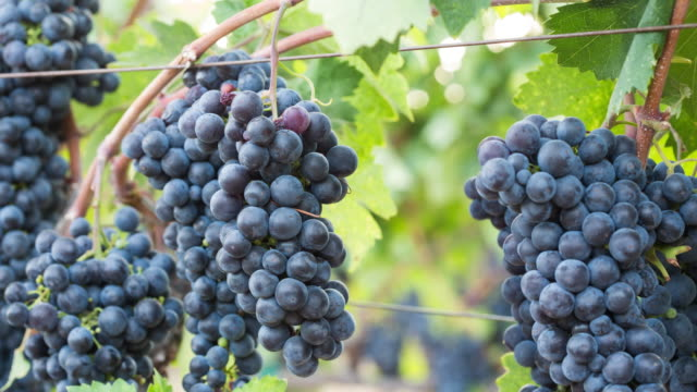 Ripe Grape Clusters on the Vine. Close-up. video