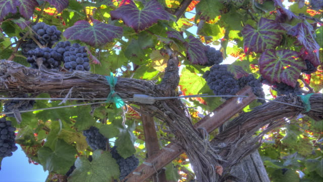 Ripe Grape Clusters on the Vine video