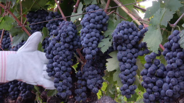 Ripe Grape Clusters on the Vine with Farm Worker Hand video