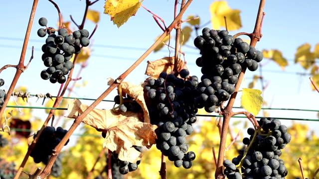Ripe grapes on vine video