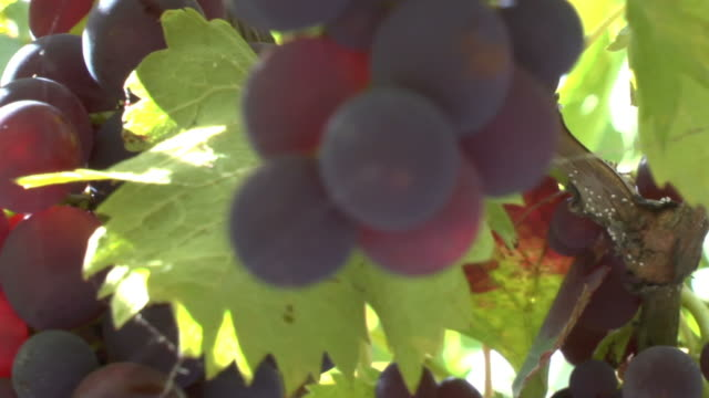 Ripe Grapes Still On The Vine video