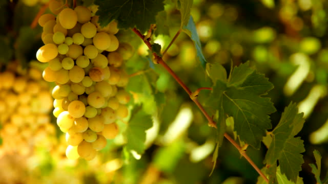 ripe grapes video