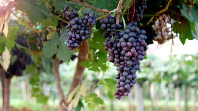 ripe grapes video