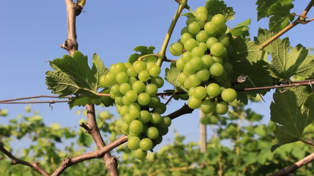 Ripe green organic grapes and grapevine leaves growing in vineyard farm video