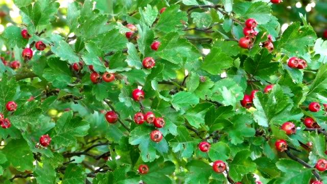Ripe hawthorn in autumn video