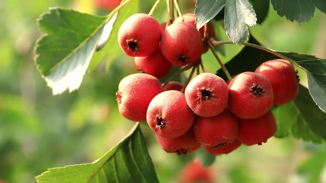 Ripe hawthorns on Hawthorn branches, red fruits