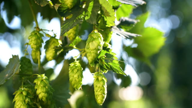 Ripe Hops Cones in Late Summer