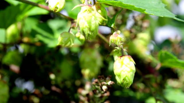 Ripe hops fruits close up video