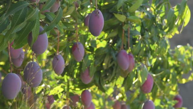 Ripe mangoes hanging in a mango tree Ripe mangoes hanging in a mango tree mango stock videos & royalty-free footage