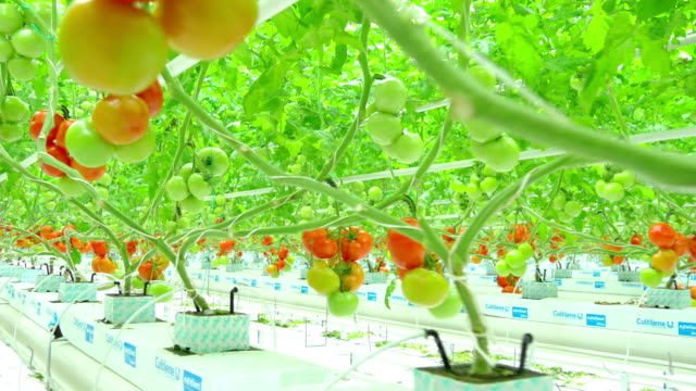 ripe natural tomatoes growing on a branch greenhouse - pomodoro video stock e b–roll