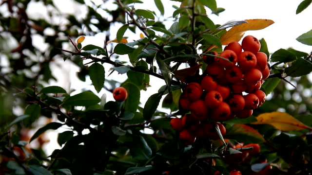 Ripe orange bunches of berries on branch video