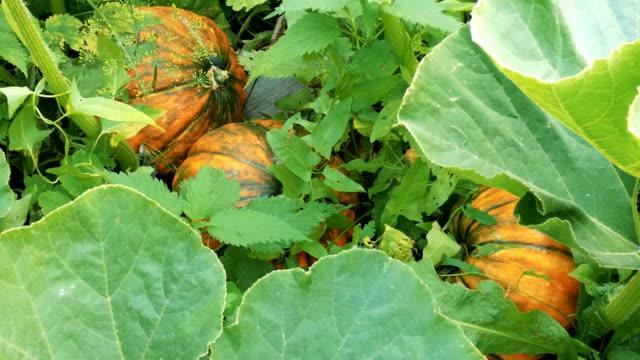 ripe orange pumpkins between green plants - zucca legenaria video stock e b–roll