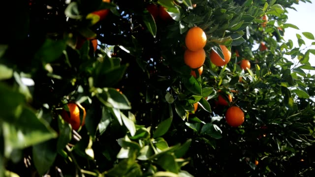 Ripe oranges hanging on orange tree branches in spring Fresh oranges on orange tree branches in Mediterranean orchard on sunny day in spring citrus fruit videos stock videos & royalty-free footage