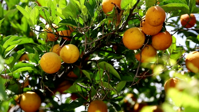 Ripe oranges on tree in garden - vídeo