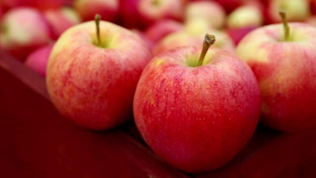 vídeos de stock, filmes e b-roll de orgânicos de gala maçãs maduras - eventos de gala