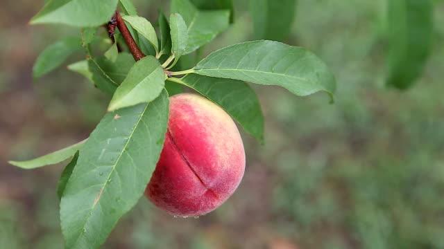 ripe peach on a branch - albicocco video stock e b–roll