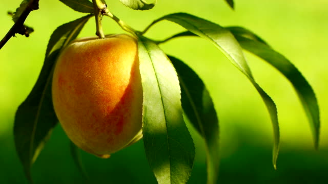 Ripe peach on the tree Juicy ripe colorful  fresh peaches on the tree. peach stock videos & royalty-free footage