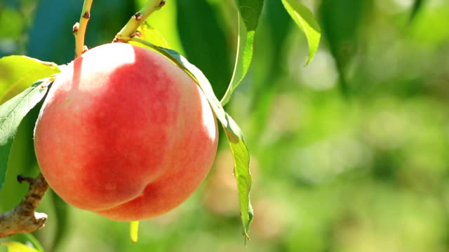 ripe peaches in a peach garden. - brzoskwinia drzewo owocowe filmów i materiałów b-roll