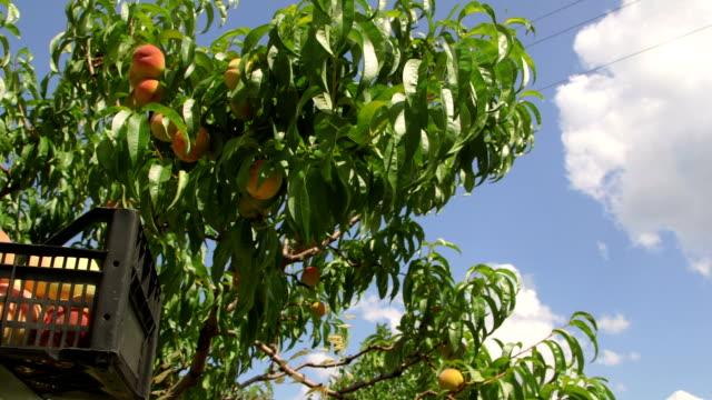 dojrzałe brzoskwinie w orchard podczas zbiorów - brzoskwinia drzewo owocowe filmów i materiałów b-roll