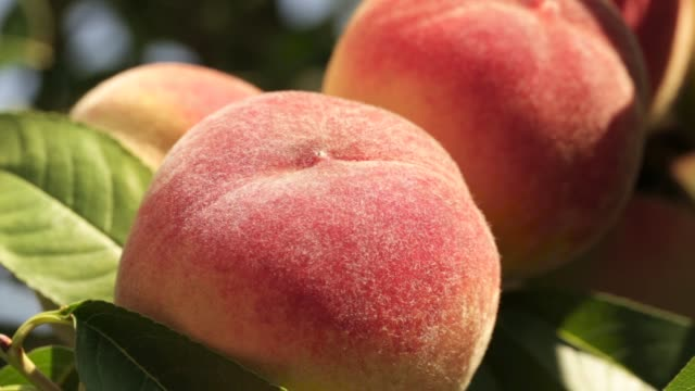 Ripe peaches on a branch close-up Ripe peaches on a branch in the garden among the leaves peach stock videos & royalty-free footage