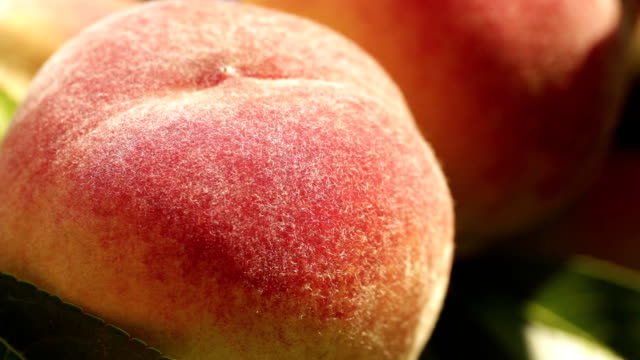 Ripe peaches on a branch close-up Ripe peaches on a branch close-up, harvest in the garden, organic fruits peach stock videos & royalty-free footage