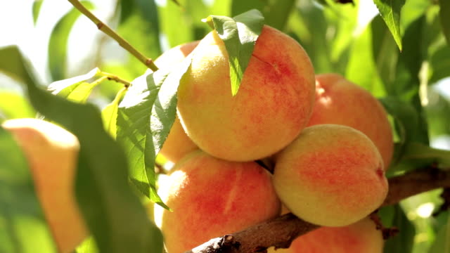 Ripe peaches on a branch Ripe peaches on a branch in the garden among the leaves peach stock videos & royalty-free footage