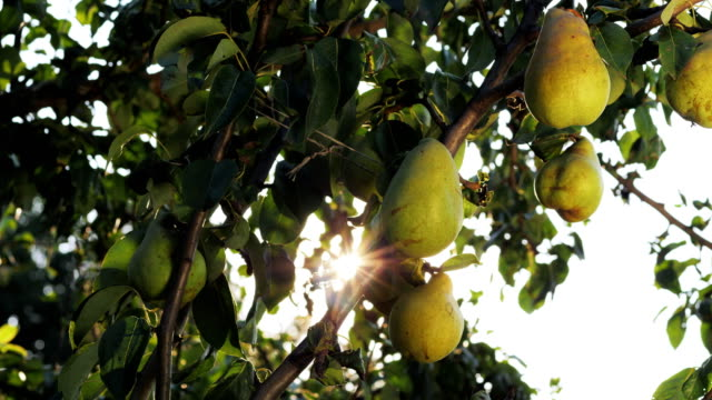 Ripe pears on a branch Ripe pears on a branch. Tree leaves and fruit. Good ecology and warm climate. Little gift of nature. Sunlight through branches pear stock videos & royalty-free footage