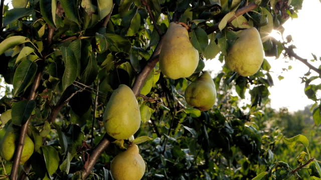 Ripe Pears On a Tree Slow Motion. The girl tries to reach for the pear bouncing. Ripe pears on a tree. pear stock videos & royalty-free footage