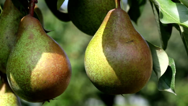 Ripe pears Ripe pears ready for harvest pear stock videos & royalty-free footage