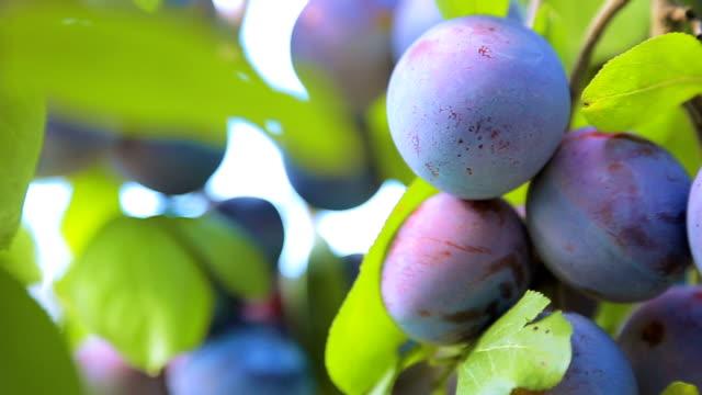 Ripe plum on branch of plum tree. Tree with ripe purple plums close-up. plum stock videos & royalty-free footage