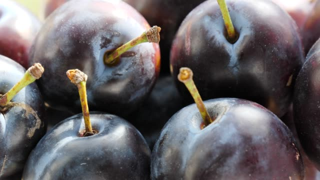 Ripe plums fruit close up Close up of fresh ripe garden plums fruit. Healthy eating, season autumn harvest. plum stock videos & royalty-free footage