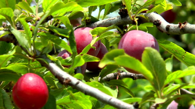 Ripe plums on a branch among leaves video