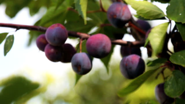 ripe plums on the tree sway in the wind ripe plums on the tree sway in the wind plum stock videos & royalty-free footage