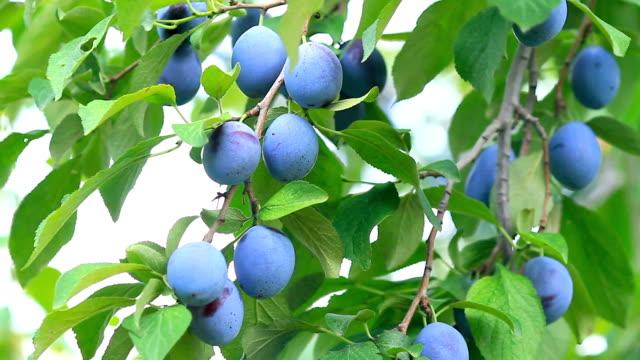 Ripe plums. video