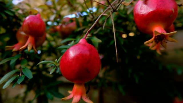 vídeos de stock e filmes b-roll de ripe pomegranate fruits are growing on the branch - romã