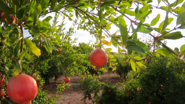 vídeos de stock e filmes b-roll de ripe pomegranate fruits growing on tree. beautiful red pomegranate on tree. fresh fruits on the branch of tree. sunshine lying on garnet tree - romã