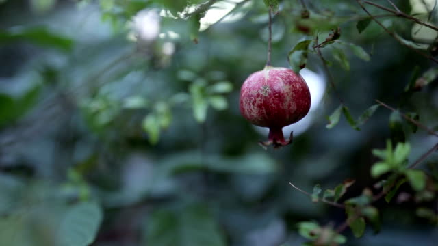 Ripe pomegranate hanging on a tree, next to wedding rings.
