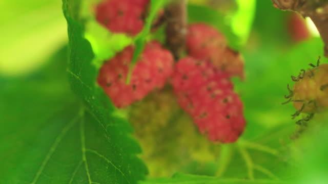 熟した赤と白の果実 - 熟していない点の映像素材/bロール