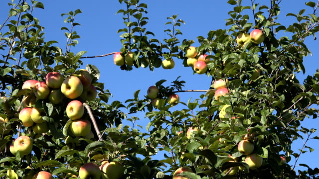 Ripe red apples on tree branch move in wind against blue sky in summer. video