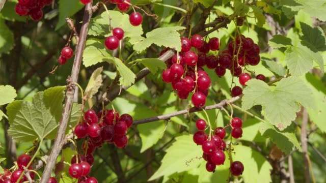 ripe red currant berry grows in the garden on a bush branch - ribes rosso video stock e b–roll