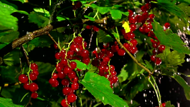 ripe red currant in the rain at night. super slow motion close up shot, 500 fps - ribes rosso video stock e b–roll