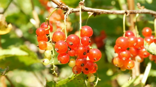 Ripe red currants video