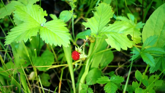 Ripe red strawberries grow in the forest. video