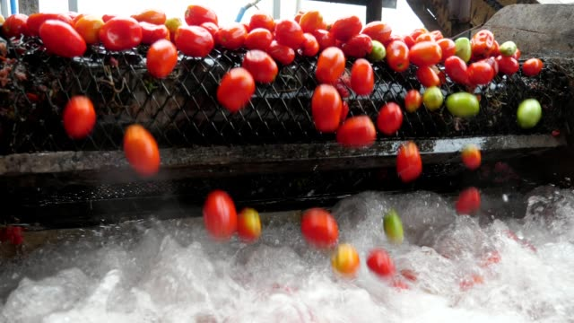 Ripe red tomatoes moving on a conveyor line and falling in splashing waters