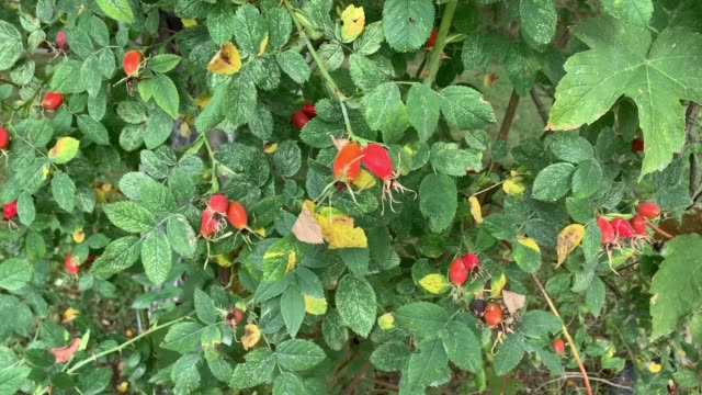 Ripe rose hips on camera in motion video