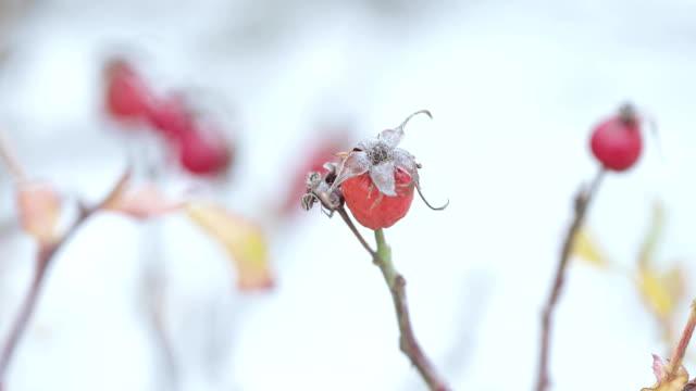 熟したローズヒップと雪 - イヌバラ点の映像素材/bロール